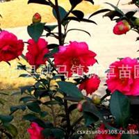 湖南长沙花木之乡新卓苗圃供应低价【茶梅】