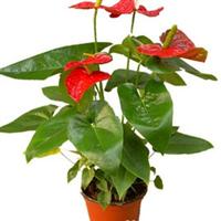 精品红掌,自家苗圃大量批发零售,叶绿掌红,家居、公司绿化极品