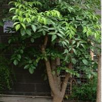 富贵树-富贵吉祥,长期大量发售、租摆,酒店公司绿化首选