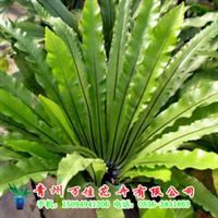 供应室内盆栽、绿植鸟巢蕨、铁线蕨