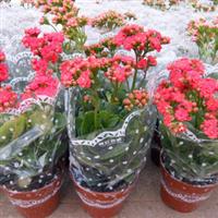 供应长寿花,多种时令盆栽花卉批发