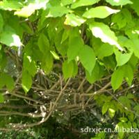 山东济阳供应优质绿化苗木——紫藤紫藤苗木