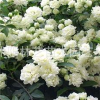 供应木香花蔷薇七里香别名木香藤爬藤植物