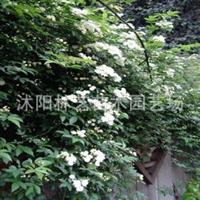 庭院攀援植物木香花当年小苗木香藤七里香花卉香气十足