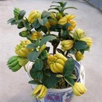 盆栽金华佛手苗佛手苗佛手苗6年苗保证鲜活室内花卉