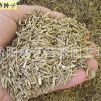 供应多年生黑麦草种子各类草坪种子进口牧草种子
