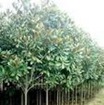 供应红叶石楠乔木绿化灌木品质更合理优质优化环境