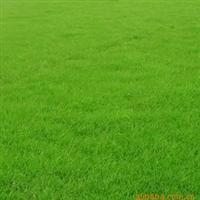 供应上海马尼拉+黑麦草暖季型