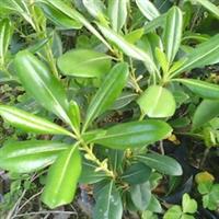 海桐树袋苗