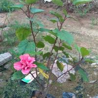 朱槿,复瓣扶桑。牡丹袋苗