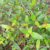 巴西野牡丹袋苗