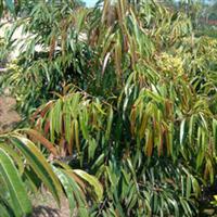 柳叶榕(长叶榕)袋苗