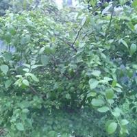 紫花三角梅(叶子花)1米高袋苗