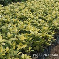 黄金榕(14分)袋苗