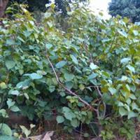 红花三角梅袋苗(叶子花)