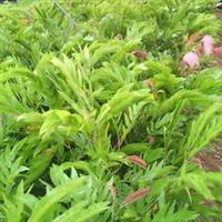 红绒球袋苗
