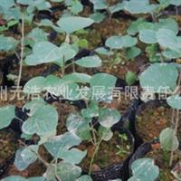【低价特卖,品质保证】西南地区适应紫丁香容器苗