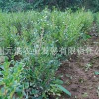 【低价特卖,品质保证】西南地区适应性瓜子黄杨苗