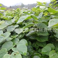 【低价特卖】西南地区适应性实生紫荆苗
