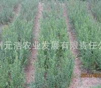 【低价特卖,品质保证】西南地区适应性石榴苗