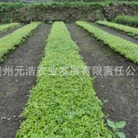 【低价特卖,品质保证】西南地区适应性海桐实生苗