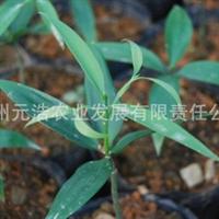 【低价特卖,品质保证】西南地区适应性实生竹柏容器苗