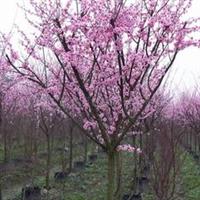 供应梅花-红梅、绿梅、美人梅