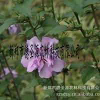 供应彩色苗木紫红重瓣木槿