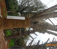 欢迎广大顾客光临浏阳林惠苗圃,买到合适自己的苗木,诚心。