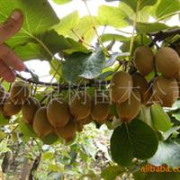 供应黄金果猕猴桃苗(图)