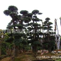 供应优美造型石楠古树