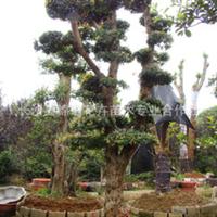 供应绿化工程大树造型石楠造型石楠