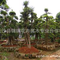 湖南长沙县大量乔木造型石楠