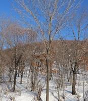 水曲柳一级树形绿化树