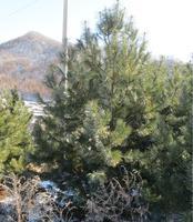 圣诞树天然圣诞树