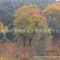 蒙古栎(柞树)