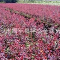 批发【红叶小檗】紫叶小檗/营养钵红叶小檗/陕西周至园林绿化苗木