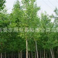 批发【法桐】行道风景树/陕西山东河北河南山西周至园林绿化苗木