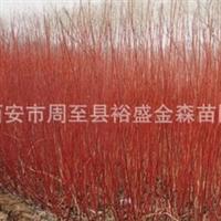 批发【红柳】【红瑞木】陕西周至园林绿化苗木供应商/侧柏/塔柏