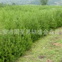 批发【白皮松】精品名贵绿化苗木/一等品/营养钵白皮松风景行道树