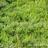 低价蜈蚣草、鼠牙半枝莲、石指甲、黄开口草、瓜子草