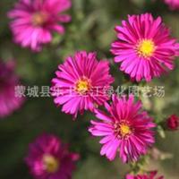 低价荷兰菊纽约紫菀宿根花卉