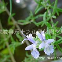 低价迷迭香海洋之露彩色景观花种