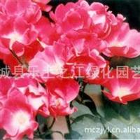 蔷薇科蔷薇属丰花月季