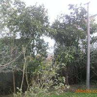 大量优惠供应香泡树树木、香泡树、苗木等