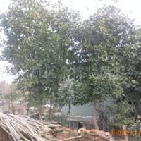 大量优惠供应香泡树、树木苗木等