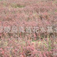 供应红叶李红叶李小苗、及红叶小檗种子批发