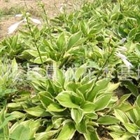 供应畅销金边麦冬.花叶万年青地被菊葱兰等各种地被植物