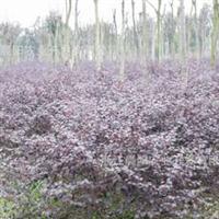 红花继木盆苗,红花继木毛球,数量多,低价,公司苗圃直销