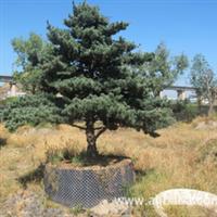 供应乔木-各种规格《高杆金桔树》公司旗下花圃艺场直销